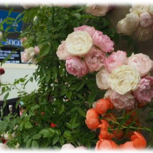 冬剪定、誘引したバラ たまかずら 花苗を買いました