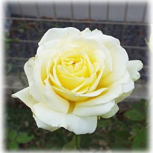 ピンピンコロリ 祖父との思い出のベゴニアの光景 剪定したバラ快挙