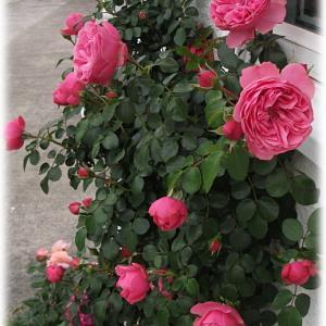 バラの芽吹き早! 剪定したバラ レオナルドダビンチ クリスマスローズ