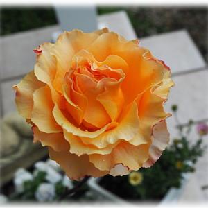 ローブドゥアントワネットが美しい バラ ラ カンパネラ 気に入ったバラ柄の鉢