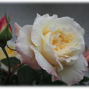 ピンクと黄色それぞれのバラ 芸術的なローブドゥアントワネット?芽出し肥しました