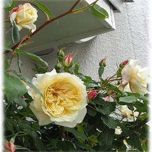 薬害が出たバラと草花 セリーヌ&ヨコハマさん