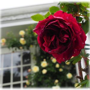 赤いバラが開花 エレモフィラ ニベア
