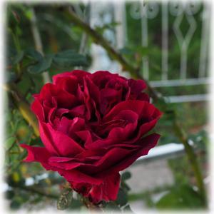 魅力的な赤バラ アイアンベビーベッドにローブドゥアントワネットを