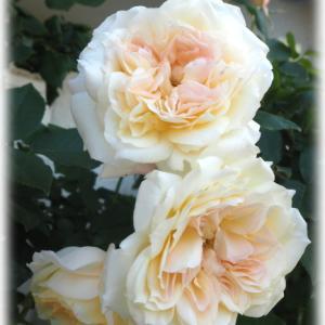 群星の蕾がほころんできました お花畑の花壇のお花が少しだけ華やかに