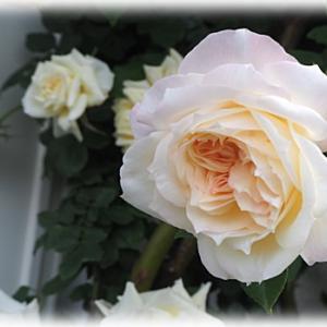 千葉の次女庭のバラがワサワサ 寄せ植えをつくりました