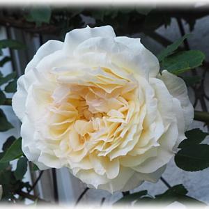 仙人主人がテラコッタの掃除 モモイロタンポポが咲きました