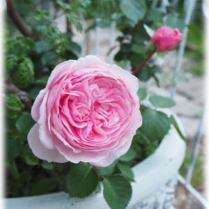愛らしいバラ アーチからガゼボへ行ってみましょう♪ 庭はお城
