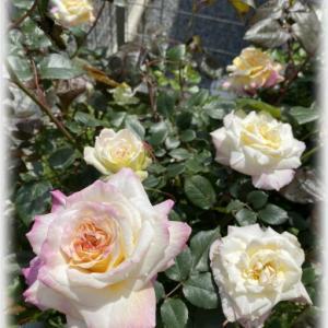バラを飾る次女 白のデルフィニウム ガラハット