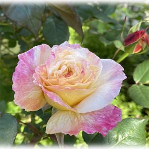 バラのとビオラのグラデーション大会 仙人主人がポスト塗装
