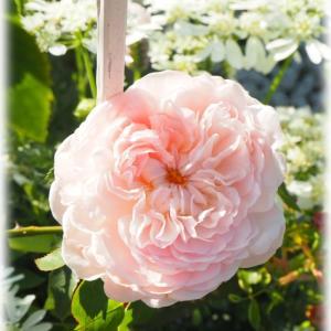 バラ セントスウィザンが咲きました ペチュニア ドレスアップ ラベンダーピンクアイス