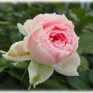 バラ パシュミナ オリビアローズとキャラ被る? 小道花壇をリビングから見る