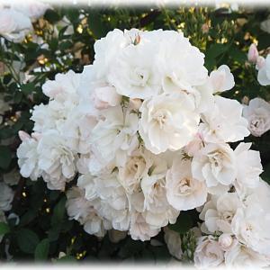 白いつるバラ 群星 スカビオサ アメジストスノー