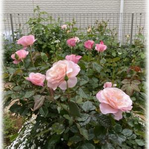 バラ オードリーヘップバーンが咲きました バラのパッカンは奥が深い