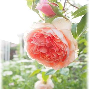 バラ ウィリアムモリスが咲きました