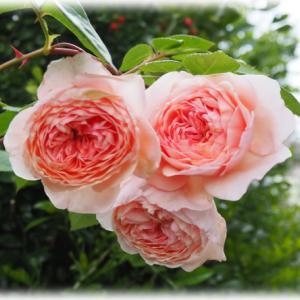 バラ ウィリアムモリスの花もち観察結果