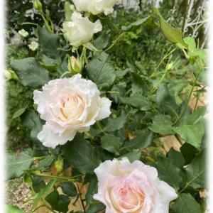 バラ ミルフィーユが咲きました 「可愛い」「綺麗」「素敵」が飛び交う