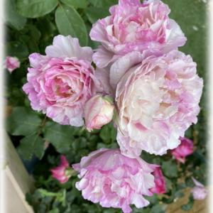奇跡のバラ カメオ