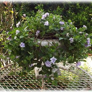 ペチュニアの切り戻しから再開花まで 春のバラ庭 ガゼボ