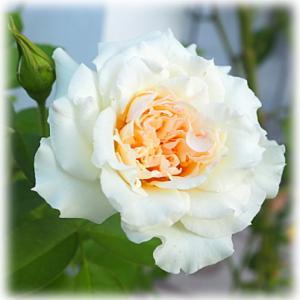 怪しいがんや病気情報の無責任さ 台風後に庭で咲いたバラの夏花 ブランピエールドゥロンサール