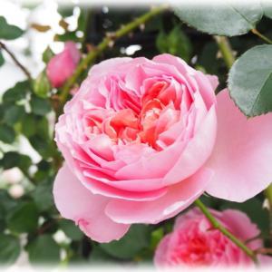 春のパステルな花壇 キーラが咲いてます