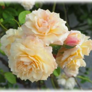 お花病の二人 セリーヌフォレスティエ 春のアニエスシリジェル