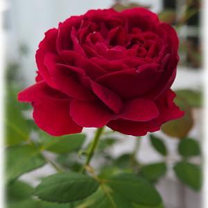 まだ剪定して咲いてもらいます アンプルールデュマロックの秋バラ