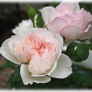 蕾をかじってたのはあなただったのね セシルドゥヴォーランジェの秋バラ