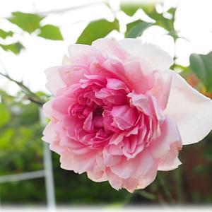 シスターエリザベスのお花 エンドレス剪定でまだまだ咲いてもらいます
