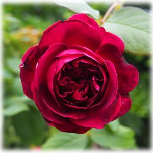 ムンステッドウッド バラのシュートの虫チェック 復活して咲いたアメジストセージ