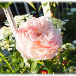 サルビア フジプルコ 春の天使 イングリッシュローズ