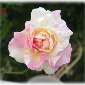 つるバラの剪定、誘引 ブルボンクイーン ミルフィーユ