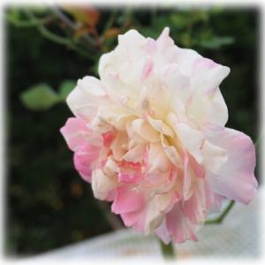 おぎはら植物園で花苗を注文 秋バラ アーチの修理