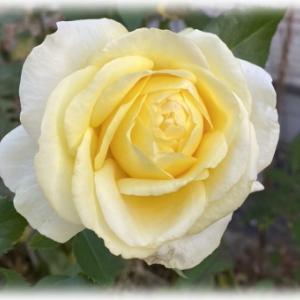 つるバラの剪定、誘引 メサージュドゥヨコハマ 次女庭の秋バラ