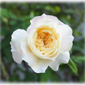 バラの予約大苗を注文 秋バラさんたち 庭にある苗で簡単寄せ植え