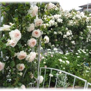 バラのサイドシュートを誘引 ローブドゥアントワネットの花籠の飾り場所を移動