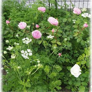 つるバラの剪定、、誘引完了 木立ちバラの剪定 オリビアローズオースチン