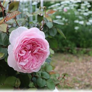 オリビアローズ オースチンが咲きました バーバスカム サザンチャームは2年で終わる?
