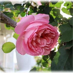 ロゼにも退職祝い? ジェネラシオンジャルダンやお花が織り成す景色