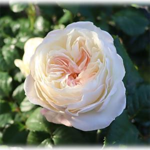 キーラが可愛い バラ庭の様子つづき