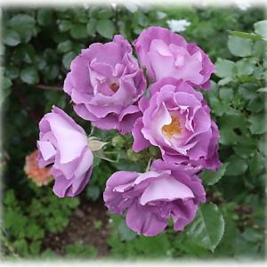 春のバラ庭はキラキラ 義姉が遊びに来ました