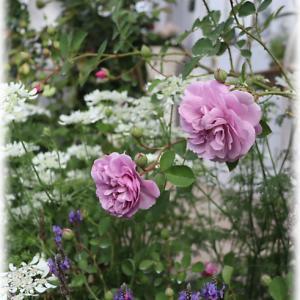 レイニーブルーが素敵 たまかずらと草花の花壇