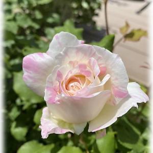 次女庭の様子 開花したバラとフライングで開花したバラ