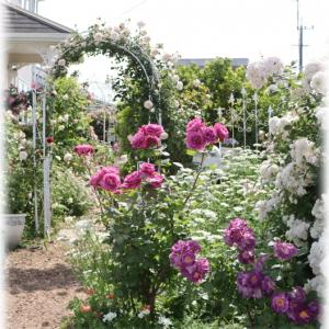 次女庭で咲いたバラ 青みがかったバラが好き?
