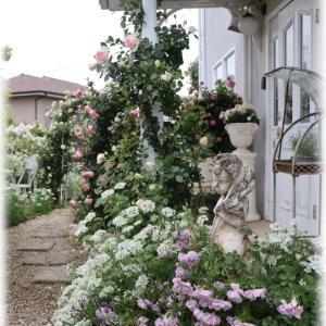 雨の次女バラと雨上がりのロゼ庭