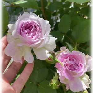 キルケ可愛いバラ ロサオリエンティス 次女庭のバラ