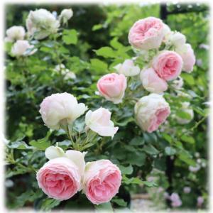 パシュミナ 満開 バラの害虫 ハナムグリ被害