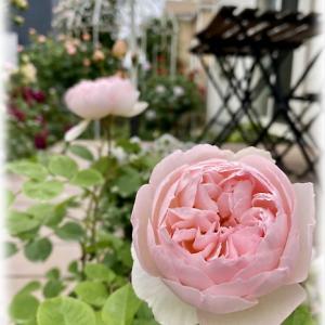 メサージュドゥヨコハマの花汚れ、花傷み リラの鉢増し