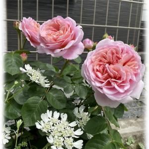 ユーステイシアヴァイが咲きました 次女庭のガゼボのバラ