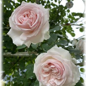 綺麗に咲いたメサージュドゥヨコハマ 摘蕾でクオリティが上がったアンナプルナ